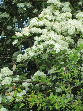 May blossom in the hedgerows