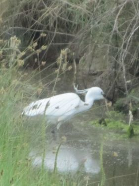 Egret stalking in the ditch
