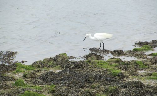 Egret in the lagoon